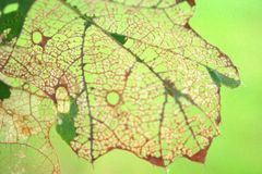 Feuille de chêne endommagée joli par insecte d'Artisitc Images libres de droits