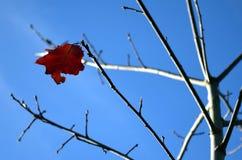 Feuille de chêne luttant contre l'hiver de approche image stock