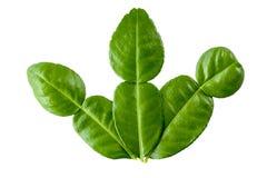 Feuille de chaux de Kaffir sur le fond blanc - herbes thaïlandaises Images stock