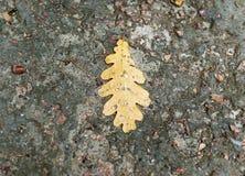 Feuille de chêne sur le fond humide d'asphalte Image libre de droits