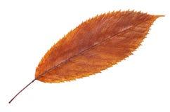 Feuille de chute de brun d'automne d'isolement sur le blanc, manière dans le chemin images stock