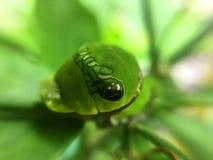 Feuille de citron mangeant Caterpillar Photographie stock libre de droits