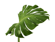 Feuille de deliciosa de Monstera d'isolement sur le fond blanc Photographie stock libre de droits