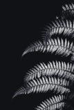 Feuille de fougère argentée en noir et blanc Photos stock