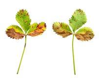 Feuille de fraise avec la maladie fongique, scor de feuille photo libre de droits