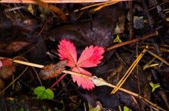 Feuille de fraise dans la forêt d'automne Photo libre de droits