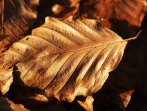 Feuille de hêtre en automne en retard Photographie stock libre de droits