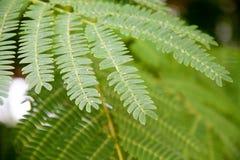 Feuille de julibrissin d'Albizia ou d'arbre en soie persan Macro en gros plan photographie stock libre de droits