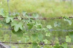 Feuille de lierre de courge de cime d'arbre sur le wir barbelé Photo libre de droits