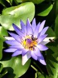 Feuille de lis de lotus de pollen d'abeilles d'insecte images stock