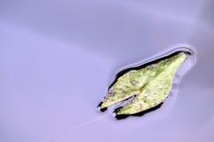 Feuille de Lotus à l'élevage dans l'eau Photos libres de droits
