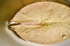 Feuille de Lotus à l'élevage dans l'eau Image stock