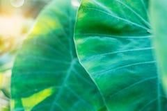 Feuille de Lotus à la lumière du soleil Photos libres de droits
