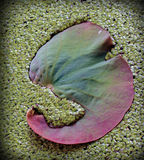Feuille de Lotus Photographie stock
