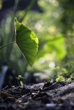 Feuille de Lotus avec la lumière du soleil rétro-éclairée Photos stock