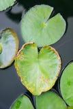 feuille de Lotus de coeur, coeur en forme de feuille de Lotus Image libre de droits