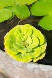 Feuille de Lotus sur l'eau Images libres de droits