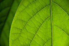 Feuille de mangue Images stock