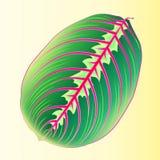 Feuille de Maranta Feuille tropicale de calibre pour le tissu de conception Image de vecteur Usine de marante arundinacée avec la illustration stock