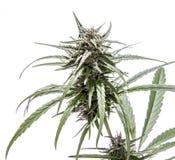 Feuille de marijuana avec le bourgeon et les couleurs Image stock