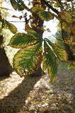 Feuille de marron d'Inde d'automne d'automne devant les feuilles d'automne brunes Photo libre de droits