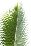 Feuille de noix de coco Photo stock