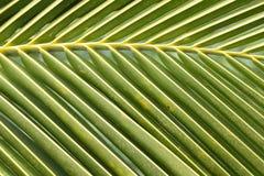 Feuille de noix de coco Image libre de droits