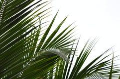 Feuille de noix de coco Images libres de droits