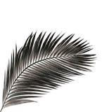 Feuille de palmier d'isolement sur le fond blanc Photos libres de droits