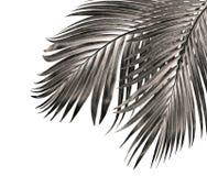 Feuille de palmier d'isolement sur le fond blanc Photographie stock