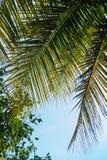 Feuille de palmier sur la verticale propre de fond de ciel photos libres de droits