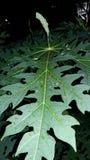 Feuille de papaye de vert de feuille d'usine photographie stock libre de droits