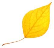 Feuille de peuplier jaune d'isolement Images libres de droits
