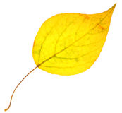 Feuille de peuplier jaune d'isolement Images stock