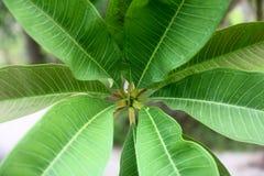 Feuille de Plumeria Image stock