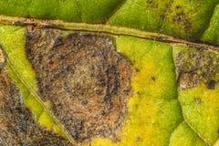 Feuille de pomme de terre attaqu?e par alternaria solani photo stock