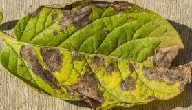 Feuille de pomme de terre attaqu?e par alternaria solani images libres de droits