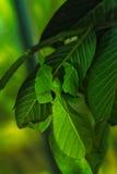 Feuille de Pulchifolium Image libre de droits