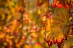 Feuille de raisin à la lumière du soleil Photos stock