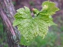 Feuille de raisin avec le groupe de floraison image stock
