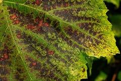 Feuille de raisin d'automne Photographie stock libre de droits