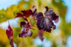 Feuille de raisin rouge avec le fond photos stock