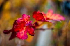 Feuille de raisin rouge avec le fond Photos libres de droits