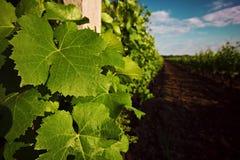 Feuille de raisin sur le vignoble Photos libres de droits