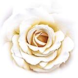 Feuille de Rose blanche Photos stock