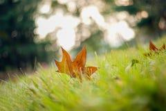 Feuille de rouge d'automne Photos libres de droits