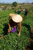 Feuille de sélection de récolteuse de thé sur la plantation agricole Photographie stock