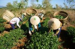 Feuille de sélection de récolteuse de thé sur la plantation agricole Image libre de droits