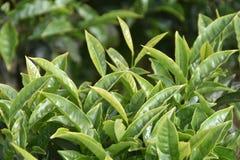 Feuille de thé de plan rapproché Image libre de droits