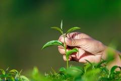 Feuille de thé en gros plan de cueillette dans la ferme Image libre de droits